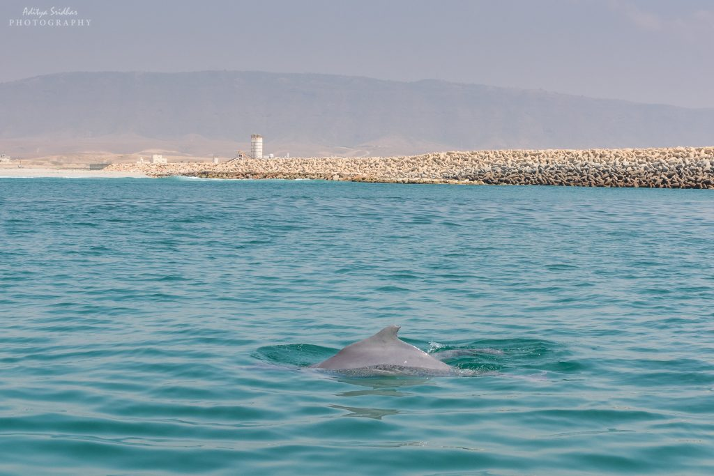 An Indo-Pacific Dolphin off the coast of Salalah